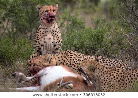 leopárd · fektet · fű · park · Dél-Afrika · természet - stock fotó © simoneeman