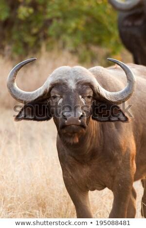 a young buffalo starring at the camera stock photo © simoneeman