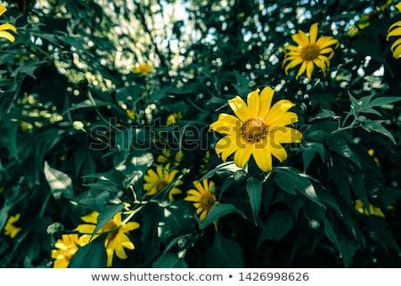 krizantem · çiçek · sonbahar · sahne · beyaz · sarı - stok fotoğraf © xuanhuongho