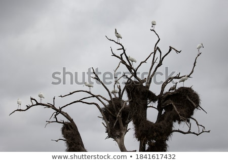 African spoonbill on a branch in the Kruger. Stock photo © simoneeman