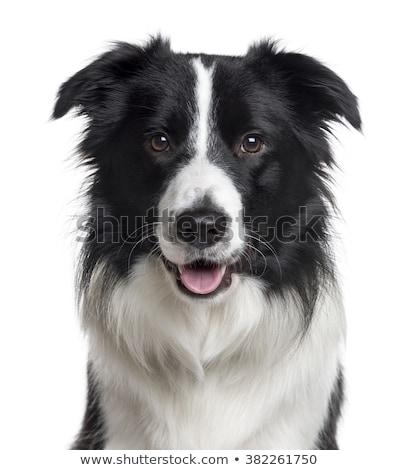 border collie portrait in the white studio stock photo © vauvau