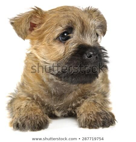 Stockfoto: Puppy Cairn Terrier Lying On The Floor