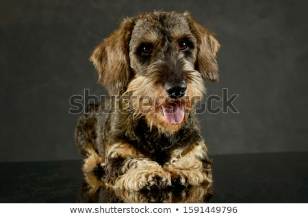 Stock photo: wired hair dachshund lying in dark studio