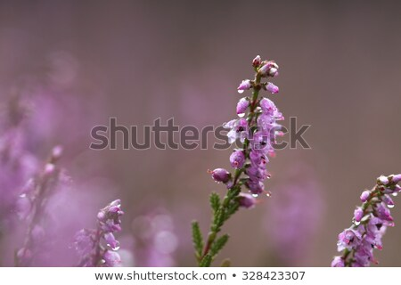 Stock photo: Macro of Heath, for template, background or presentation