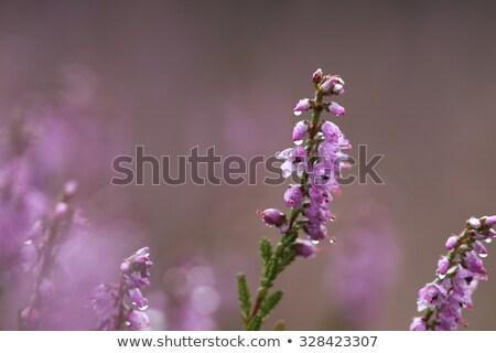 Macro of Heath, for template, background or presentation Stock photo © AvHeertum