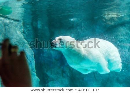 Oso polar buceo agua natación subacuático blanco Foto stock © AvHeertum