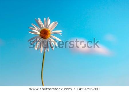 Campo amarelo grama blue sky vetor horizontal Foto stock © Vertyr