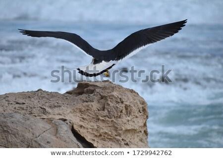 Juvenilis ül tengerpart győztes kikötő Dél-Ausztrália Stock fotó © dirkr