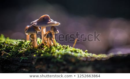 Kettő kicsi fehér gombák moha ehető Stock fotó © romvo