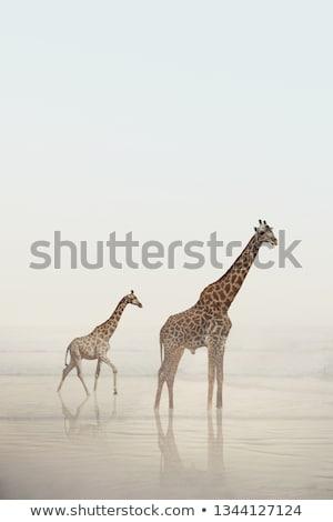 twee · giraffen · afrikaanse · savanne · lopen · groene - stockfoto © simoneeman