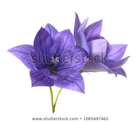 Belo flor isolado flor azul branco saudação Foto stock © frescomovie