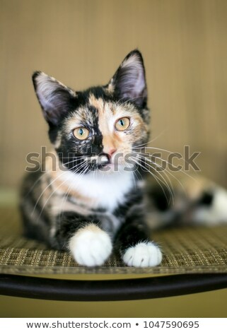 Calico Portrait Stock photo © dnsphotography