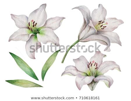 Lírios belo isolado branco beleza folhas Foto stock © homydesign