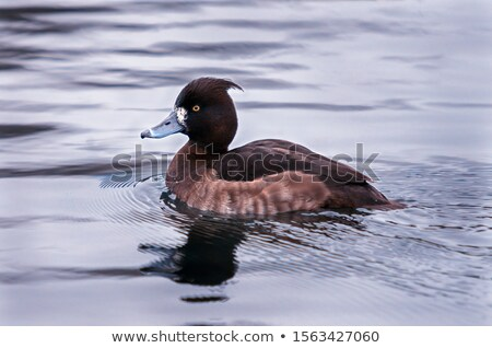 Stock fotó: Kacsa · úszik · kamera · természet · tó · folyó