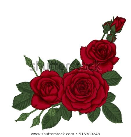 conjunto · rosas · vermelhas · isolado · branco · belo · rosa · vermelha - foto stock © blackmoon979