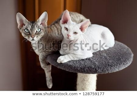 Bianco cat testa shot adorabile blu Foto d'archivio © CatchyImages