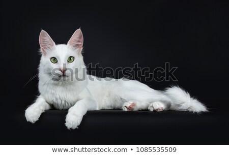 sólido · branco · turco · gato · olhos · verdes · sessão - foto stock © CatchyImages