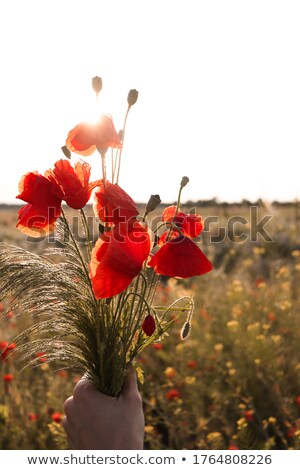 piros · pipacsok · kukoricamező · természet · kukorica · mezőgazdaság - stock fotó © inaquim