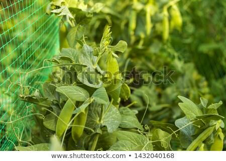 Ervilhas grade vegetal dieta planta vegan Foto stock © romvo