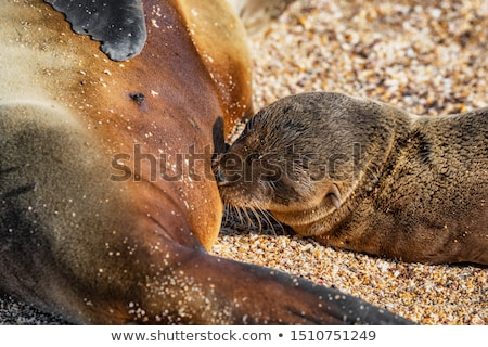 galapagos sea lion pup breastfeeding closeup of female sea lion stock photo © maridav