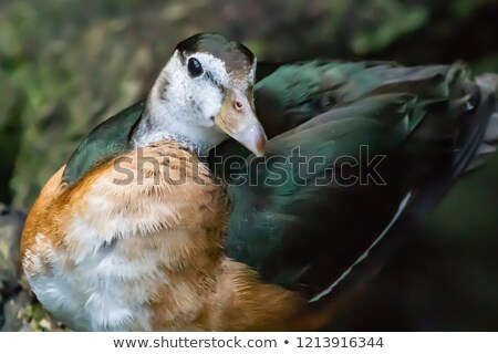 African pygmy goose Stock photo © bdspn