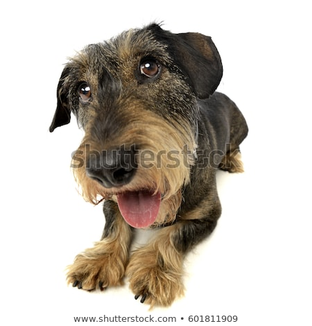 Wide angle shot of an adorable Dachshund Stock photo © vauvau