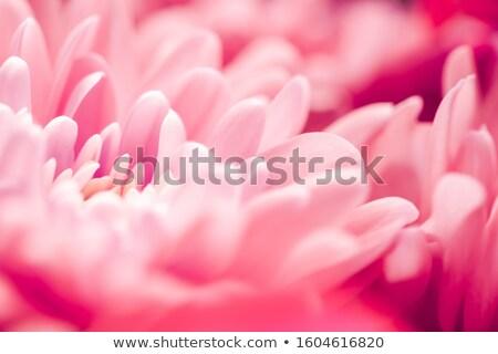 Mercan papatya çiçek yaprakları çiçeklenme soyut Stok fotoğraf © Anneleven