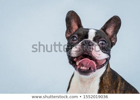 çok güzel Boston terriyer köpek göz Stok fotoğraf © vauvau