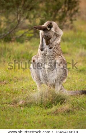Kenguru pocak karcolás Stock fotó © lovleah