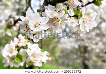 яблони цветы весны цветочный природы Сток-фото © Anneleven