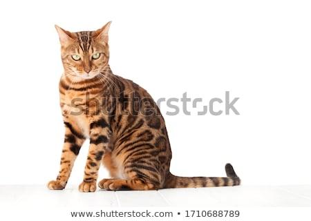 Bengalski kot posiedzenia biały ściany Zdjęcia stock © karandaev