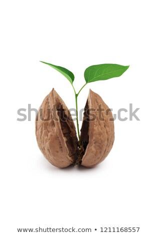 wallnut shell with soil stock photo © vtorous