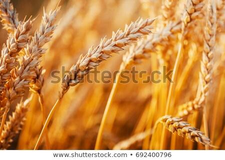 eğlence · güneş · alan · tok · buğday · şaşırtıcı - stok fotoğraf © lypnyk2