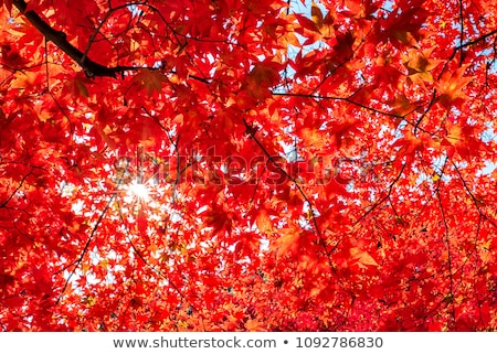maple tree under sunlight Stock photo © smithore