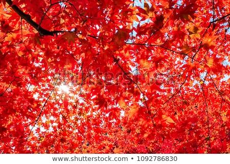 japonês · bordo · árvore · outono · amarelo · folhas - foto stock © smithore