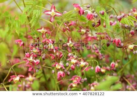 Leaf of an Epimedium flower, closeup  Stock photo © haraldmuc