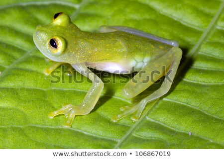 Spotted Emerald Glass Frog Stock photo © macropixel