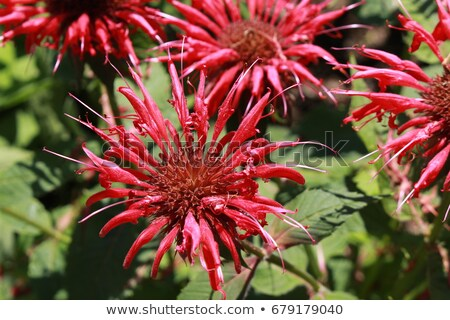 Native Bee Balm Stock photo © ca2hill