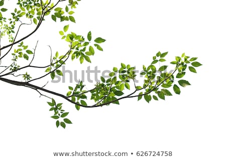 tree branches isolated on the white background  stock photo © tony4urban