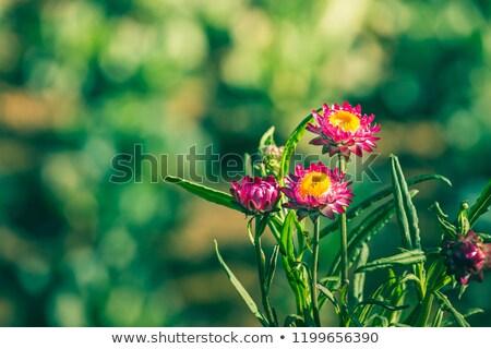Avustralya kâğıt papatya sarı kır çiçeği Stok fotoğraf © byjenjen