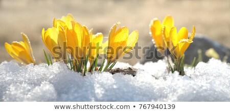 açafrão · neve · roxo · amarelo · flores · flor - foto stock © phila54