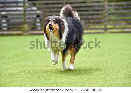 Бордер · колли · собака · долго · трава - Сток-фото © Joningall