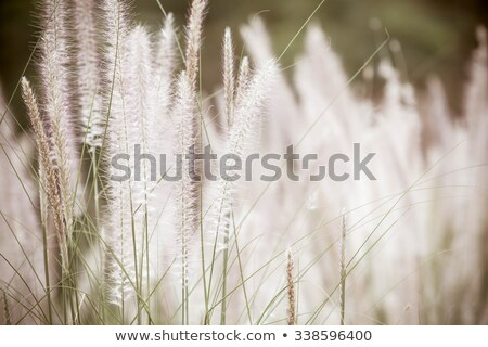 Dwarf Foxtail Grass vintage Stock photo © sweetcrisis