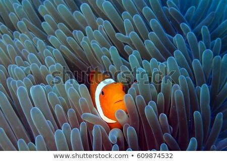 клоуна · рыбы · изолированный · белый - Сток-фото © jonnysek