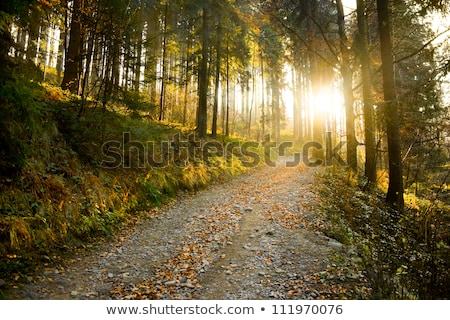 Bright and mossy coniferous forest Stock photo © olandsfokus