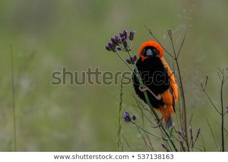 southern red bishop euplectes orix stock photo © dirkr