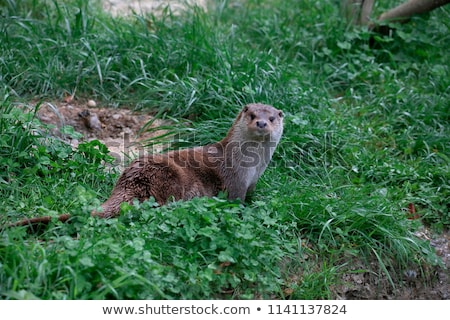 Eurasian otter (Lutra lutra) Stock photo © lightpoet