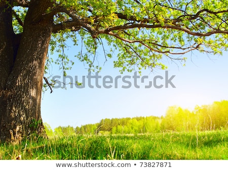 Oak trees on green meadow at a spring day Stock photo © Fesus