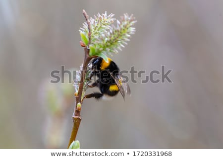 Fleurs bourdon printemps fleurs jaunes arbre Photo stock © ironstealth