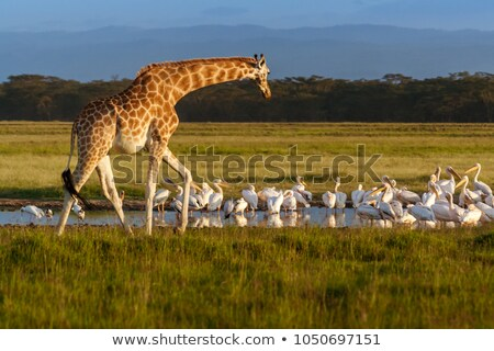 Rothschild Giraffe Stock photo © chris2766